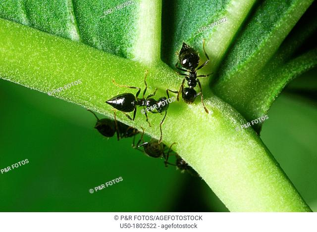 Ants collecting nectar on nectary  Formicidae, Hymenoptera  2012