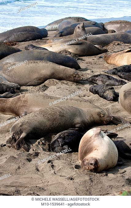 Elephant Seals laying on beach