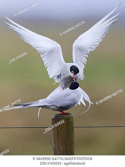 Arctic Tern (Sterna paradisaea), male feeding the female