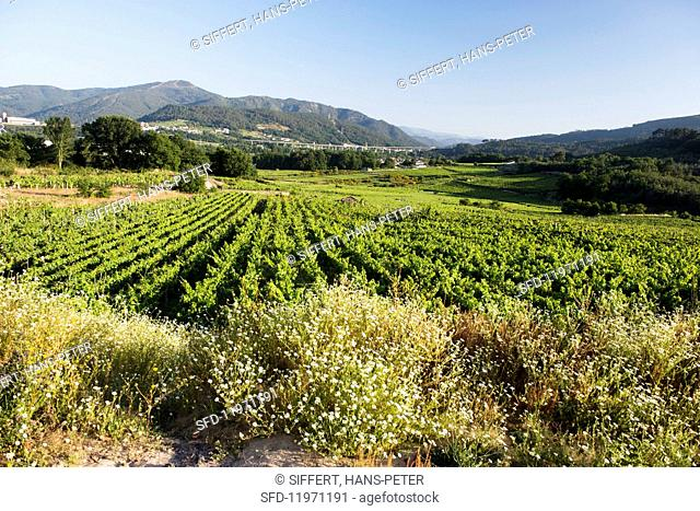 Vineyards in the district of Beade in the Avia Valley