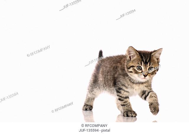kitten - walking - cut out