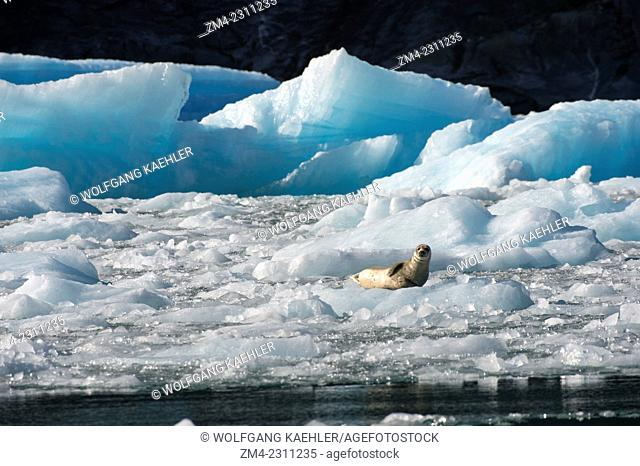 Harbor seal (Phoca vitulina) resting on icebergs from the LeConte Glacier and are drifting in LeConte Bay, Tongass National Forest, Southeast Alaska, USA