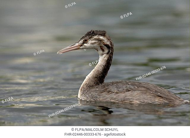 Great Crested Grebe Podiceps cristatus juvenile on water, River Thames, England