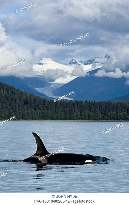 Alaska, An Orca Whale surfaces on inside passage