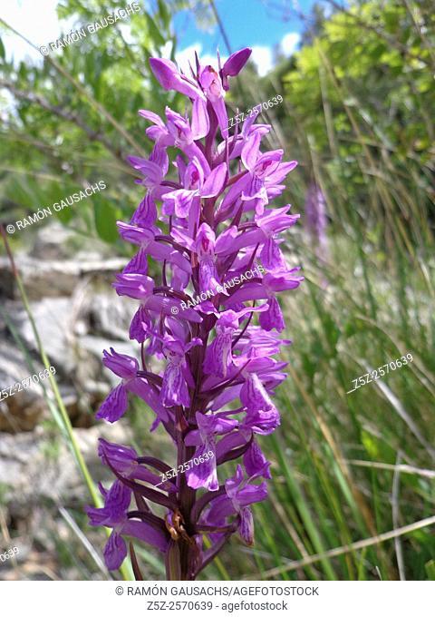 Heath spotted-orchid (Dactylorhiza fuchsii). Catalonia, Spain