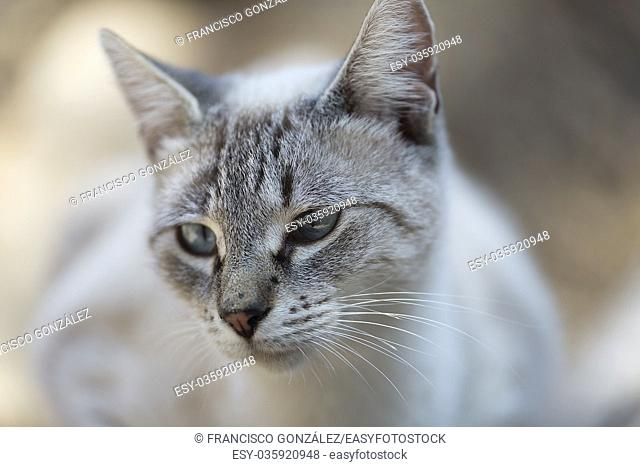 Street cat in a tourist area of Novelda, Spain