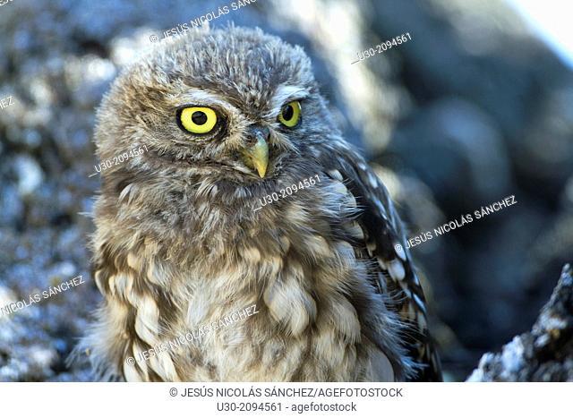 Little owl (Athene noctua) perched in a holm oak in Salamanca province. Castilla y Le—n. Spain