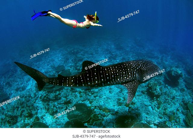 A tourist skin diving with a whale shark Rhincodon typus, the largest fish in the sea, South Ari Atoll, The Maldives