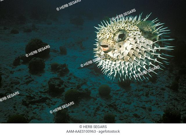 Balloon Fish (Diodon holacanthus) Nearly Worldwide in Warm Waters