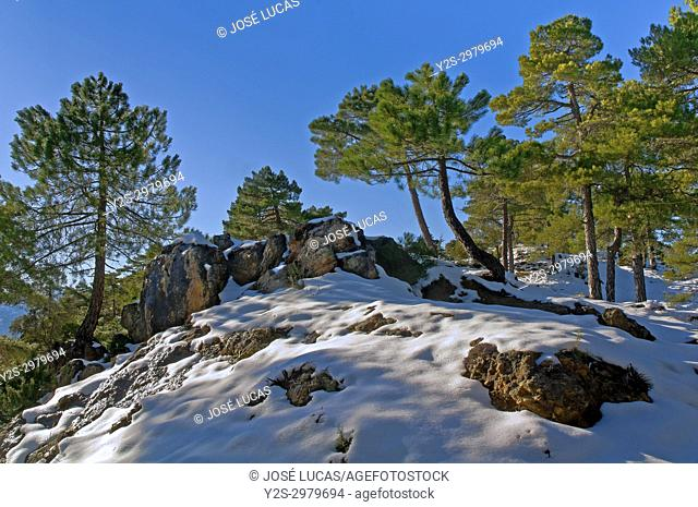 Snowy forest landscape, Natural Park of Sierras de Cazorla Segura y Las Villas, Jaen province, Region of Andalusia, Spain, Europe
