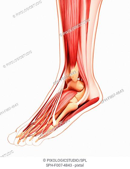Human foot musculature, computer artwork