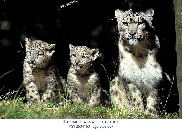 Snow Leopard or Ounce, uncia uncia, Mother and Cub, Asia
