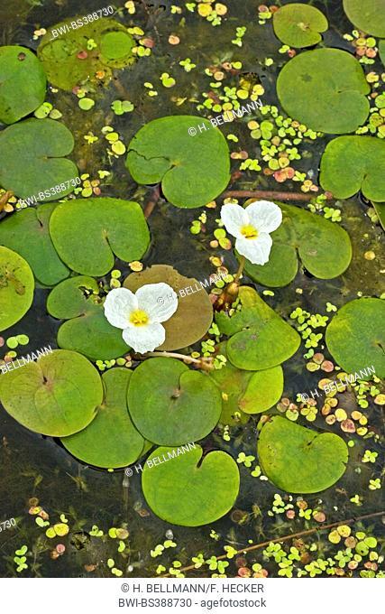 European frog-bit, European frogbit (Hydrocharis morsus-ranae), blooming, Germany