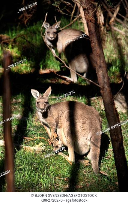 Kangaroo with Joey. Grampians, Victoria, Australia