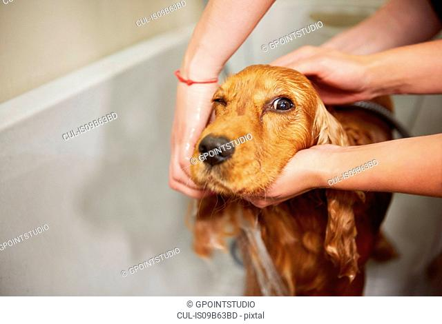 Hands of female groomers showering cocker spaniel in bath at dog grooming salon
