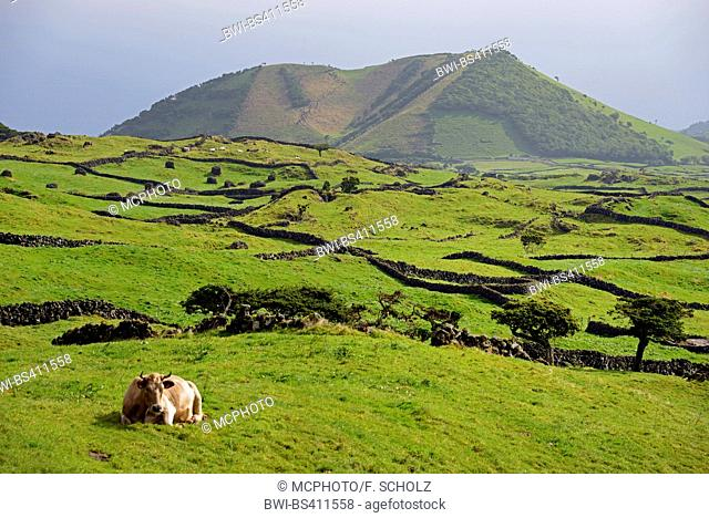 domestic cattle (Bos primigenius f. taurus), landscape at the highland of Pico, Portugal, Azores