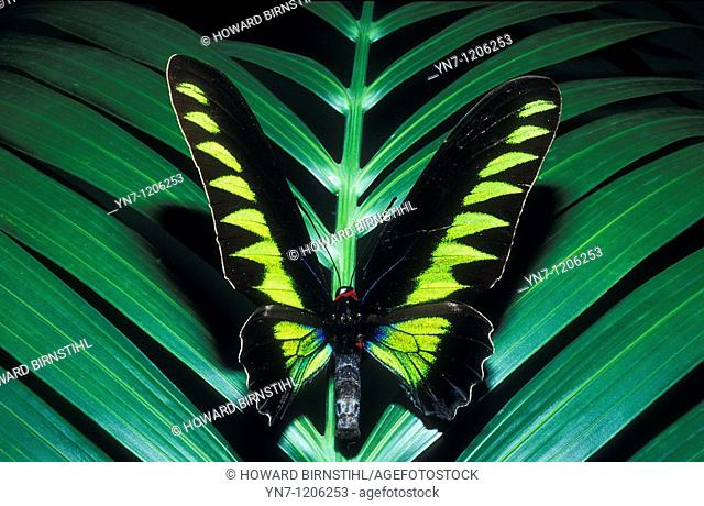 Birdwing butterfly Ornithoptera brookiana on palm portrait