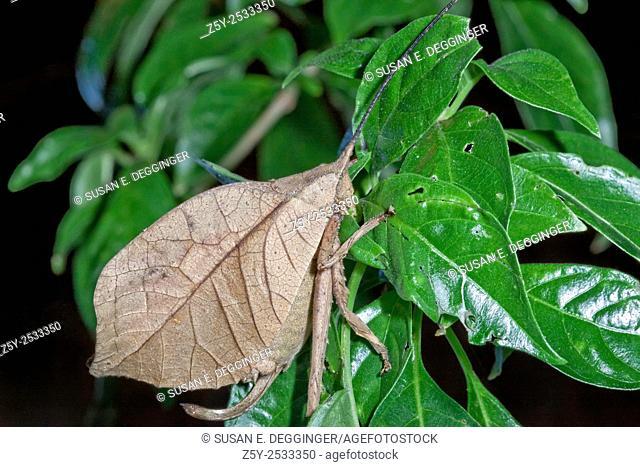 Leaf-mimicking Katydid, Costa Rica