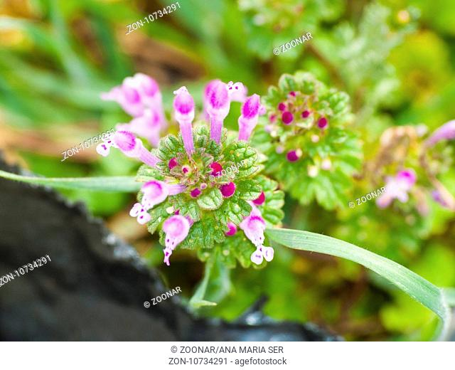 Lamium amplexicaule - Henbit on blooming on a meadow