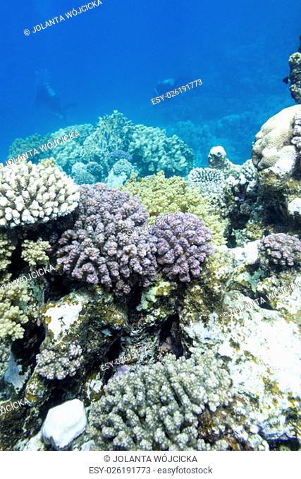 colorful coral reef with divers in tropical sea, underwater
