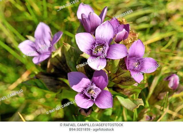 Flowers of Gentiana sp. Fam. gentianaceae. Sorteny valley Natural Park. Andorra. Europe