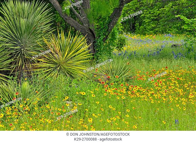 Native spring wildflowers and yucca, Pace Bend LCRA, Marble Falls, Texas, USA