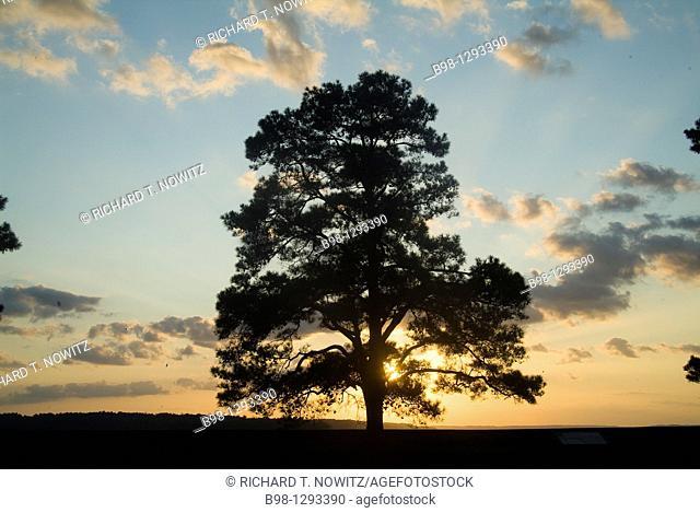 tree at sunset at Jamestown, Virginia