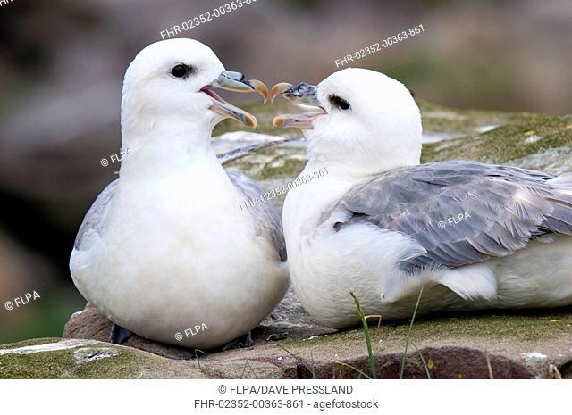 Northern Fulmar (Fulmarus glacialis) adult pair, beak rubbing during courtship display, roosting together on rocks, Staple Island, Farne Islands, Northumberland