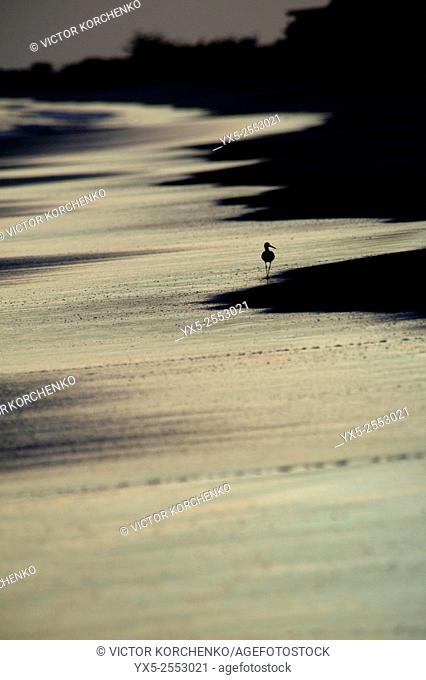 Sandpiper walking on beach at sunset