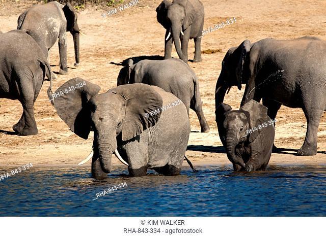 Elephants drinking, Namibia, Africa
