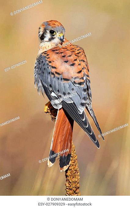 American kestrel (Falco sparverius) sitting on a mullein