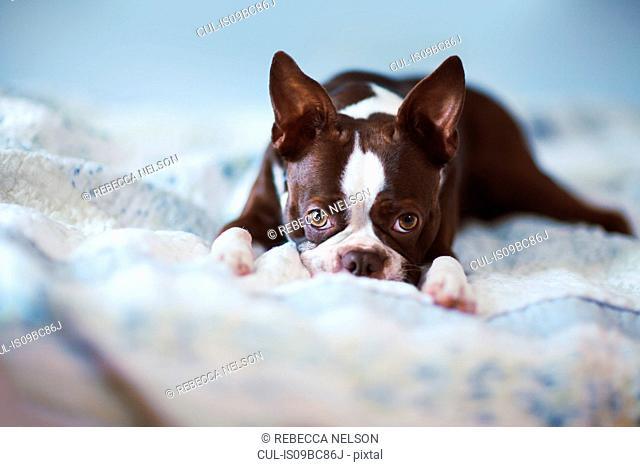 Portrait of boston terrier lying on bed