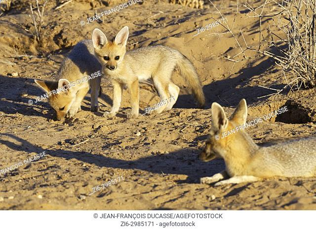 Cape fox (Vulpes chama), lying mother with cubs, in front of the burrow, evening light, Kgalagadi Transfrontier Park, Northern Cape, South Africa, Africa