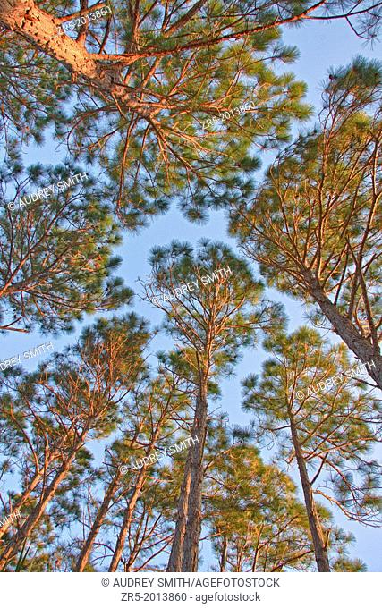 Looking up from low perspective at longleaf pine trees, Florida, USA
