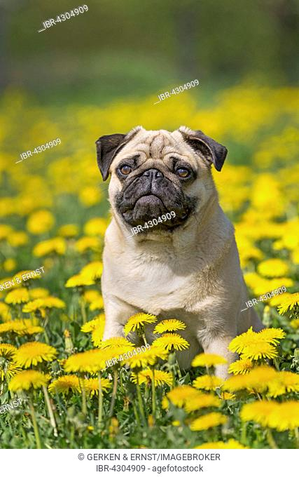 Pug puppy sitting in a dandelion meadow, Germany