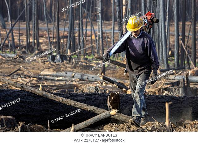 A contractor working for Crook Logging walks on a felled tree, which was damaged during the Rim Fire in the Stanislaus National Forest along Evergreen Road near...