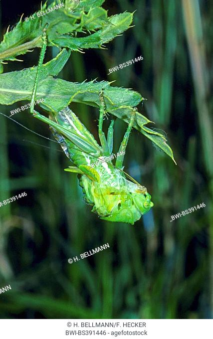 twitching green bushcricket (Tettigonia cantans), hatches from larval case, Germany