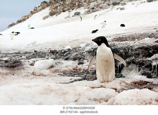 Adelie penguin (Pygoscelis adeliae), Paulet Island, Erebus and Terror Gulf, Antarctic Peninsula, Antarctica