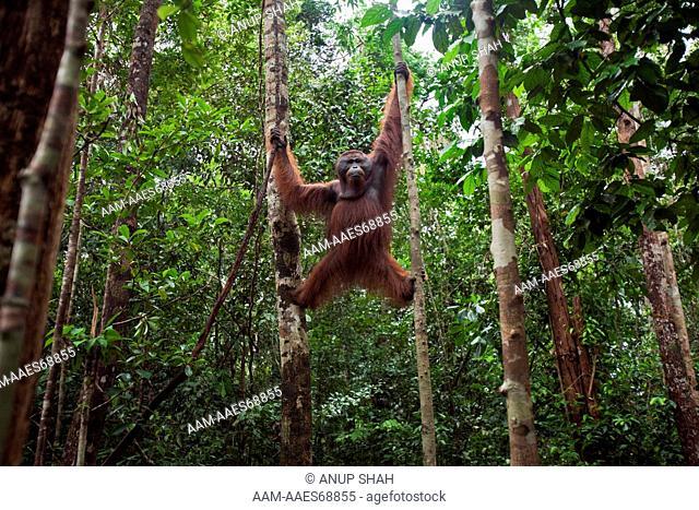 Bornean Orangutan mature male 'Nanang' suspended between a tree and a liana - wide angle perspective (Pongo pygmaeus wurmbii)