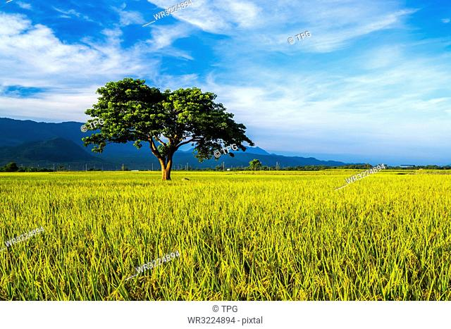 Taiwan;Taitung County;Chishang Township;Bolang Avenue;Jinchengwu Road;East Rift Valley;Rice;Rice Field