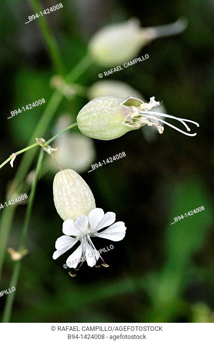 Bladder Campion (Silene inflata, fam. Caryophyllaceae). Eyna valley, Languedoc-Roussillon, Pyrenees-Orientales, France