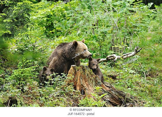 Brown bear and cubs / Ursus arctos