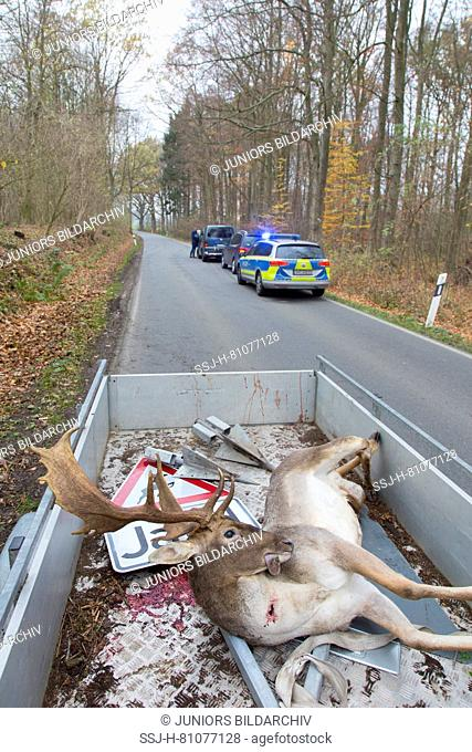 Fallow Deer (Dama dama). Roadkilled stag, Schleswig-Holstein, Germany