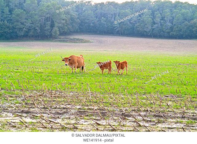Calves in the field, albera race, Fields Porqueres Location, Girona, Catalonia, Spain, Europe