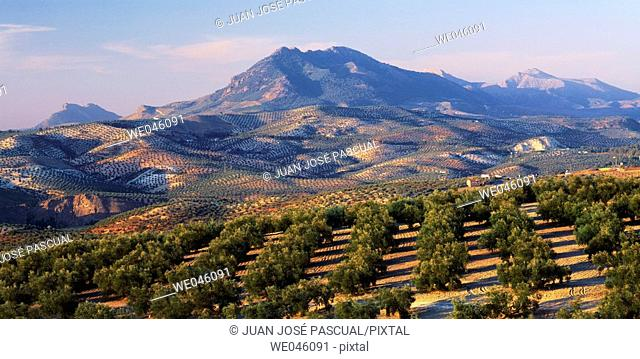 Olive groves, Antequera. Málaga province, Andalusia, Spain