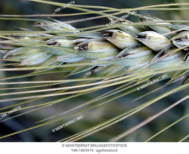 Wheat ear closeup