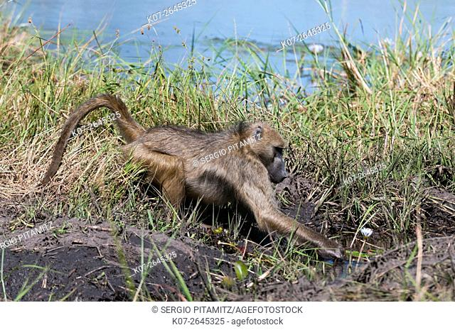 Chacma baboon (Papio ursinus), Khwai Concession, Okavango Delta, Botswana