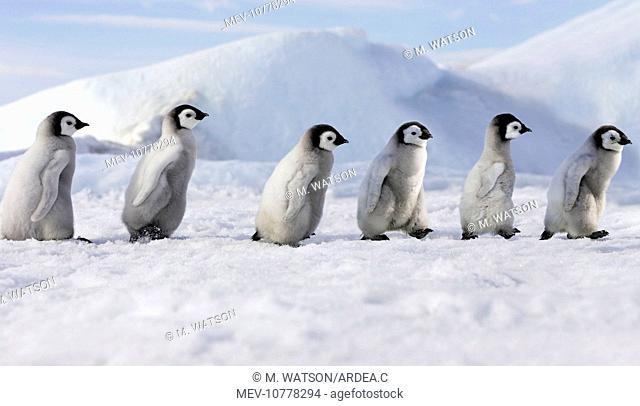 Emperor Penguins - young ones walking in a line (Aptenodytes forsteri)