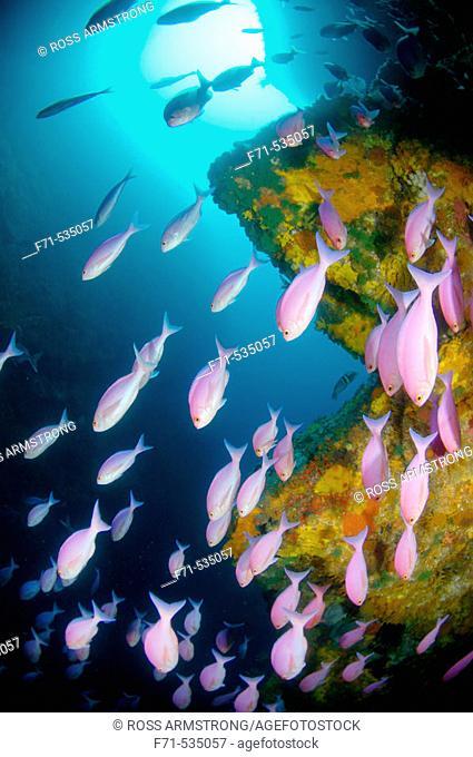Pink maomao school (Caprodon longimanus). Northern Arch. Poor Knights Islands, New Zealand. South Pacific Ocean