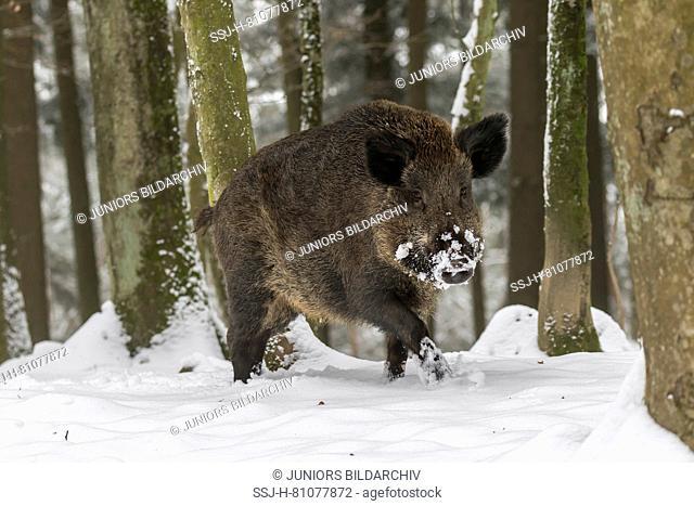 Wild boar (Sus scrofa). Adult walking in snowy forest. Germany